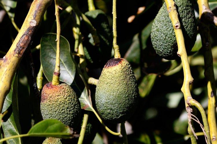 Hass es un tipo de árbol de aguacate que representa el 75 por ciento de los aguacates cultivados en California.