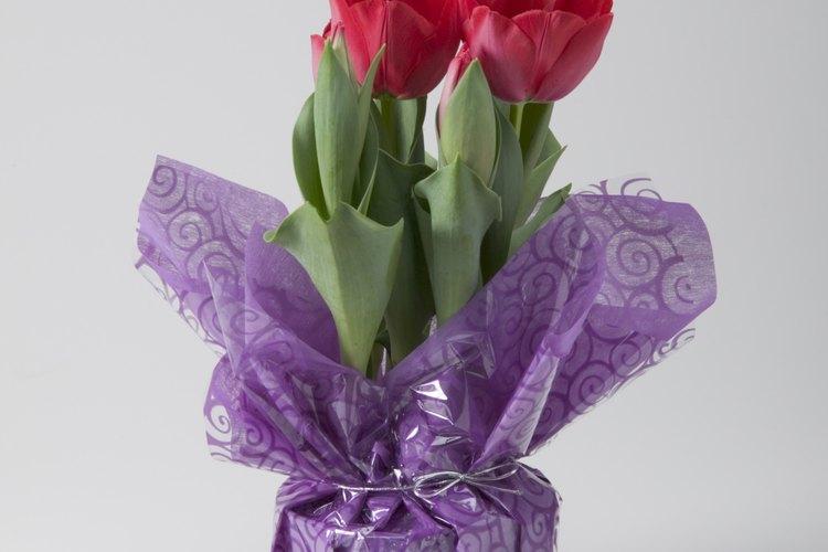 Una vez forzados a interiores, los tulipanes no florecerán de nuevo.