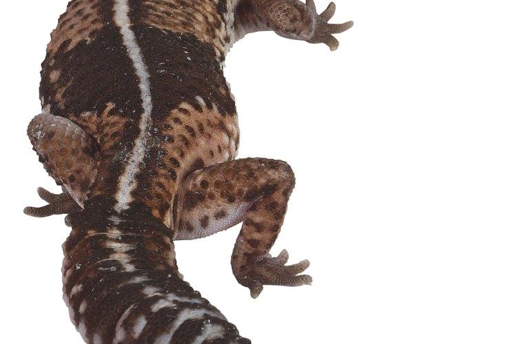 Algunos tritones viven más de 20 años en la selva.