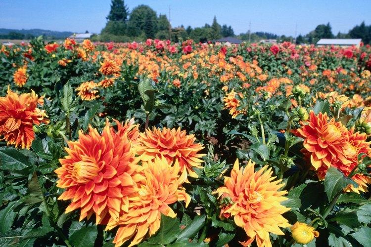 Campo de dalias en floración.