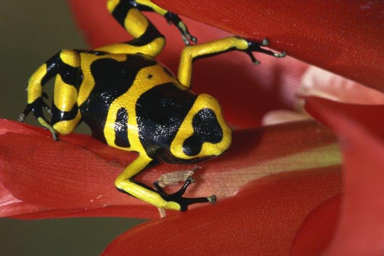 Los colores en las ranas son señal de que son especies venenosas.