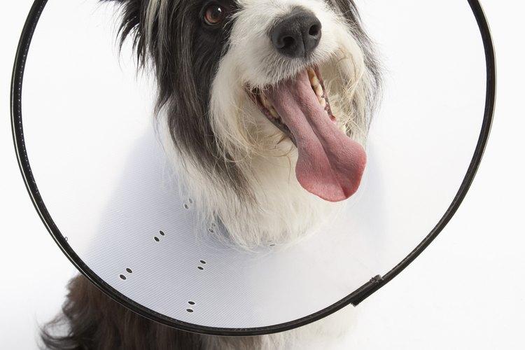 Un collar isabelino es un dispositivo protector que se usa a menudo después de las cirugías.
