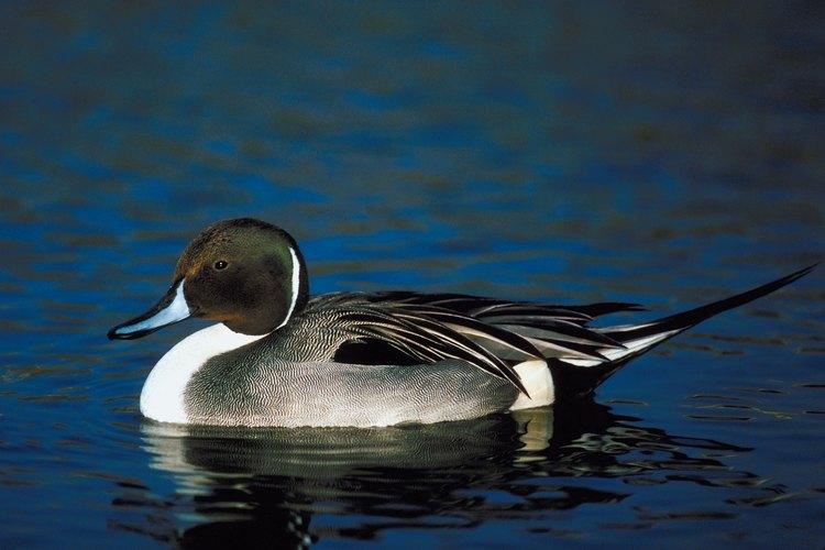 A esta especie también se la conoce comúnmente como pato golondrino.