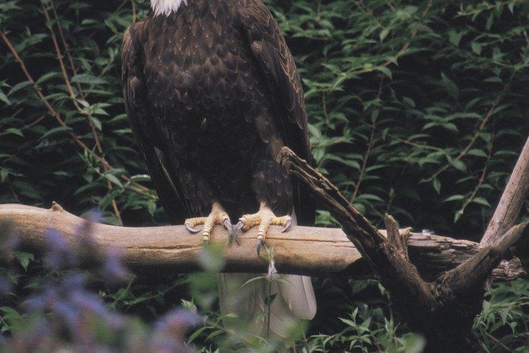 El águila calva se puede observar en Spenceville Wildlife Area.