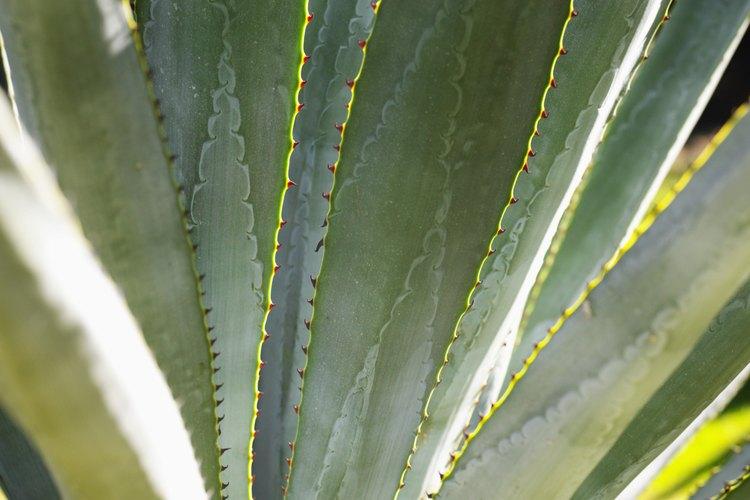 Ciertas especies de agave son bastante resistentes al frío.