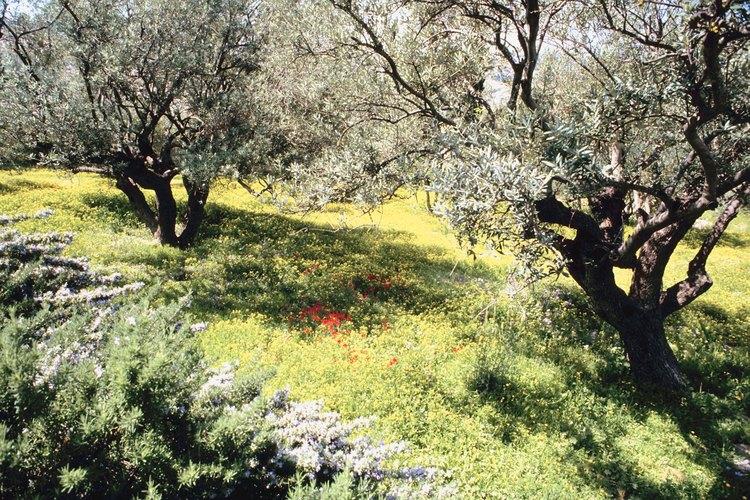 Cuando la semilla de olivo brote, sácalo por largos períodos de tiempo todos los días hasta que la semilla en macetada pase todo el día bajo el sol.