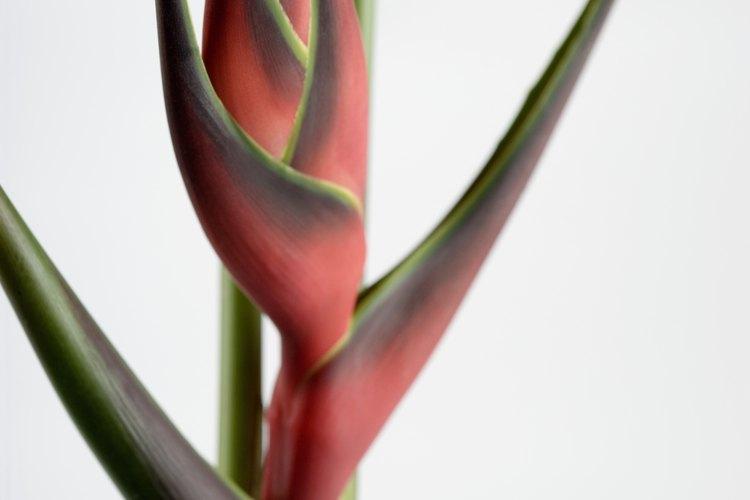 Las heliconias son adiciones coloridas a los jardines con toques tropicales.