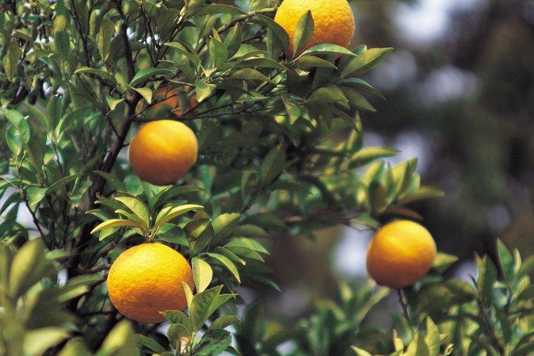 Una infestación de moscas blancas intensa puede dañar las hojas y las frutas de los cítricos.