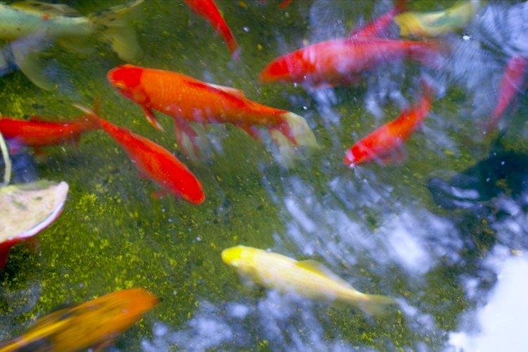 C mo criar a los peces koi beb s despu s de que nacen for Como criar peces koi