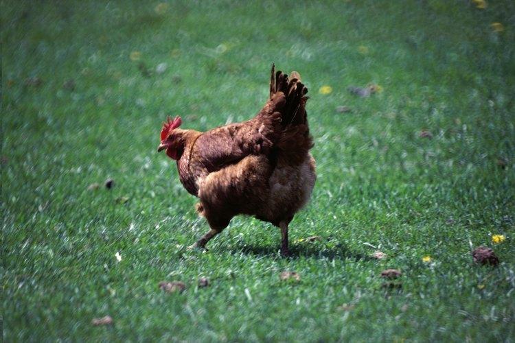 Los bebederos automáticos para pollos son prácticos, pero pueden ser muy costosos.