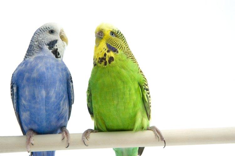 Los periquitos son más felices con la compañía de miembros de su misma especie.