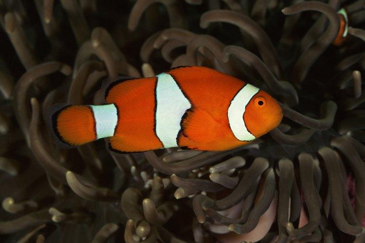 El pez payaso es un pez común de agua salada para el acuario.