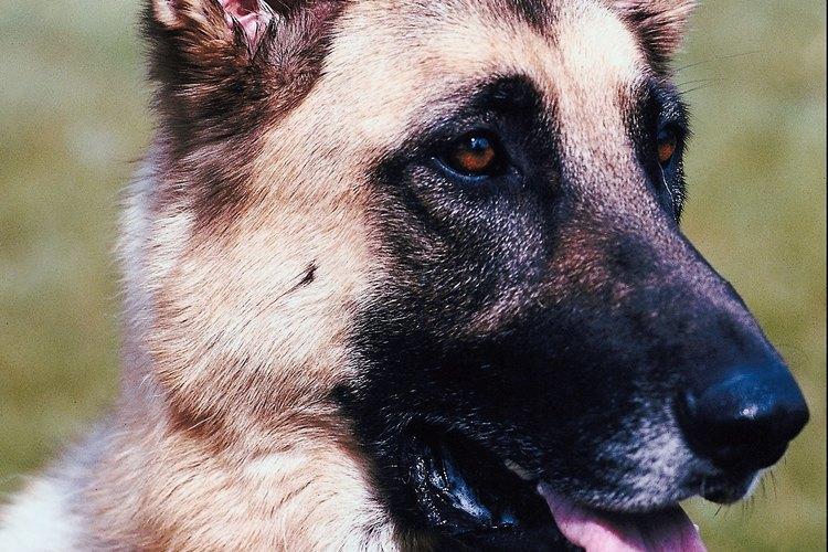 Lleva a tu pastor aleman al veterinario cuando sufra de un ataque epiléptico para que le dé el tratamiento adecuado.