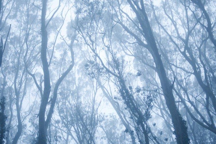 Un bosque de eucaliptos.