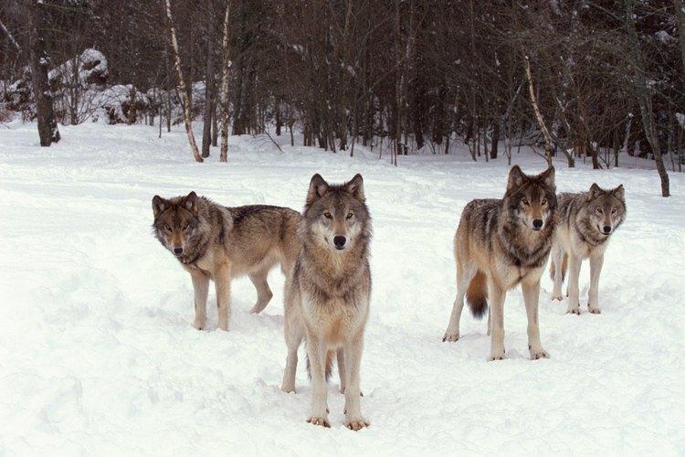 Los lobos viven en manadas de lobos relacionados.