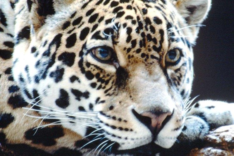 Los leopardos son depredadores de primera nivel en casi cualquier gama.