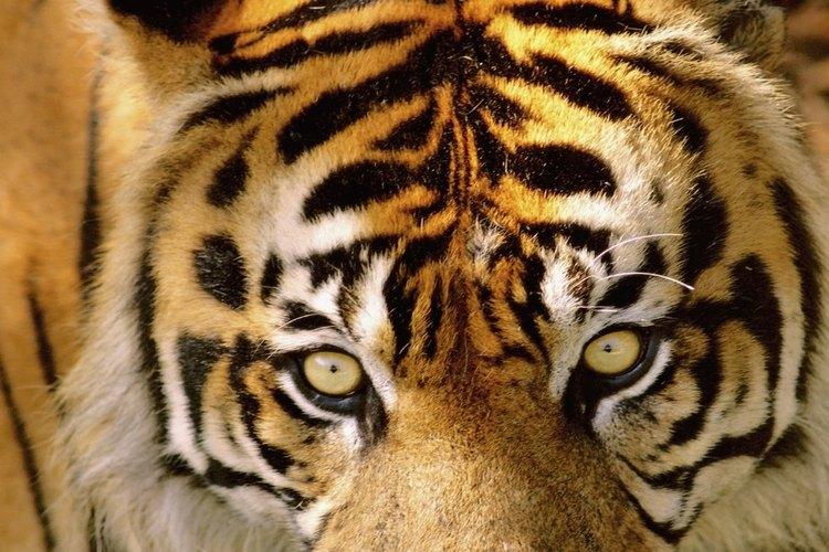 Los tigres son animales poderosos.