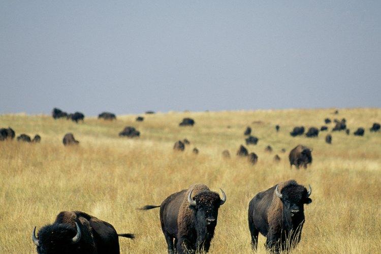 El bisonte, o búfalo, es una carne roja con menos grasa por onza (28,34 gramos) que la carne vacuna.