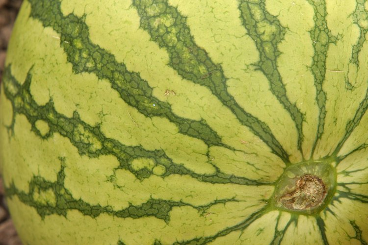 Las sandías sin semilla requieren una planta sembrada para la polinización.