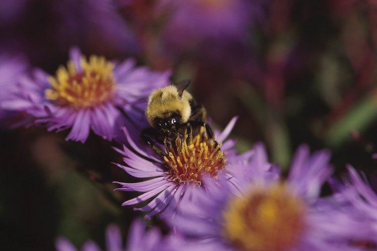 Las abejas ayudan a polinizar las flores y son fundamentales en toda la cadena alimenticia.