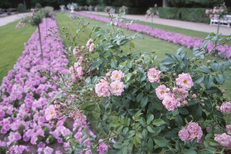 Los rosales deben ser podados todas las temporadas.
