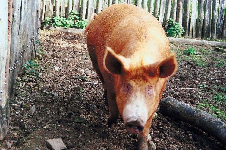 Cómo quitarle el pelo a un cerdo para cocinarlo bajo tierra.