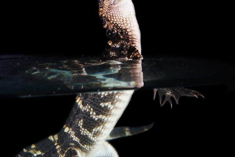 Los grandes reptiles, como cocodrilos, no deben estar alojados juntos, ya que son difíciles de controlar.