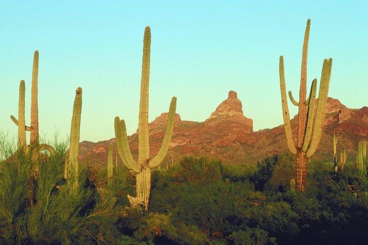 La reclusa de Arizona es similar a la reclusa parda, pero se encuentra en las regiones desérticas.