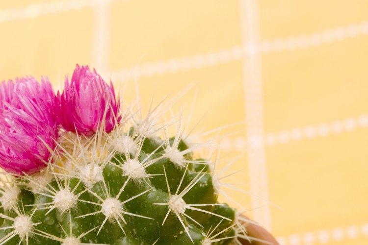 Cactus en maceta.