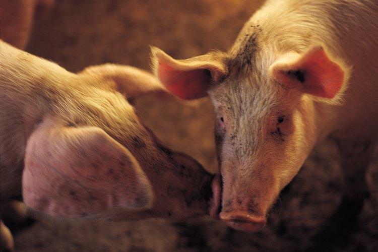 Los cerdos necesitan un área para comer, jugar y rodar y estar saludables.