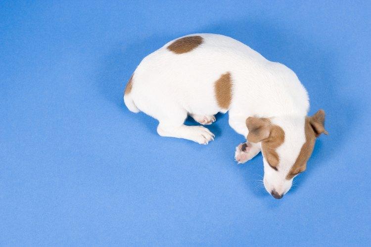 La incontinencia canina ocurre cuando el perro pierde el control de su vejiga durante el sueño.
