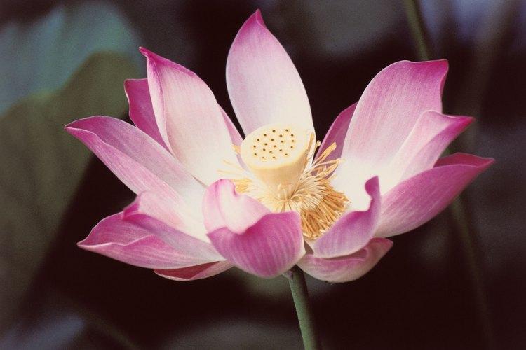 Las plantas de loto pueden cultivarse tanto dentro como fuera de casa.