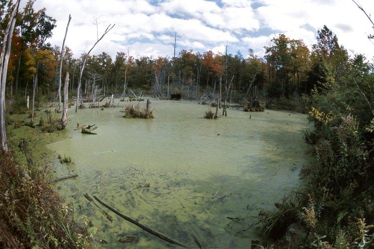 Algunas lycophytas pasan sus vidas sumergidas en agua.
