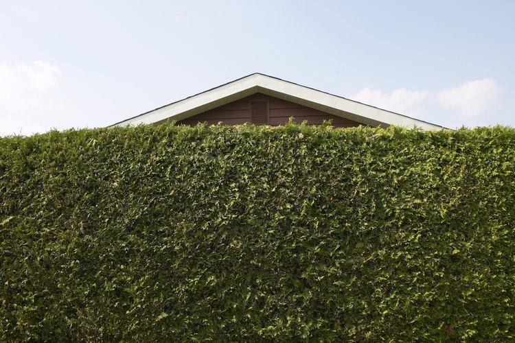 Los arbustos y malezas de rápido crecimiento proporcionan privacidad sin la necesidad de esperar años para su crecimiento.