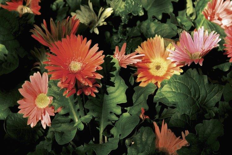 Las margaritas gerbera tienen flores largas y atractivas.