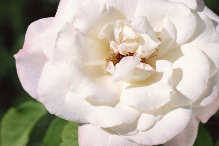 Prevén las enfermedades de las rosas con un cuidado adecuado.