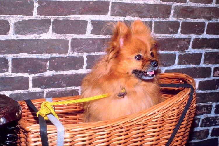 Considerados una raza pequeña, los Pomeranias caben en lugares pequeños, como canastas y bolsos.