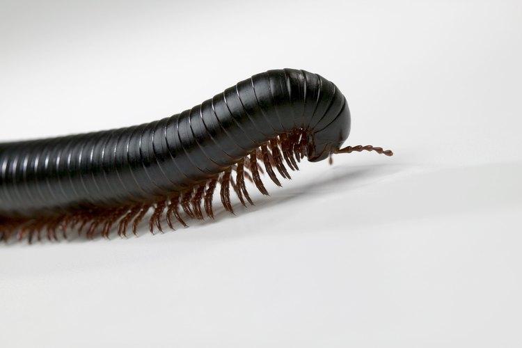 Aunque no son venenosos los milpiés migran en grandes cantidades para alimentarse de materia orgánica.