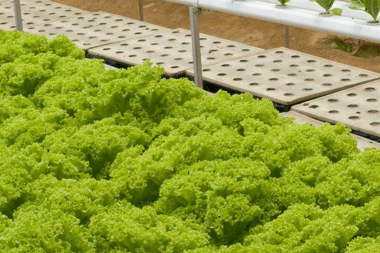 Los tomates y otros vegetales producen semillas para comenzar ideales para cultivos hidropónicos.