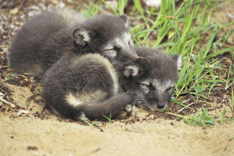Es más fácil domsticar zorros que a algunos otros animales.