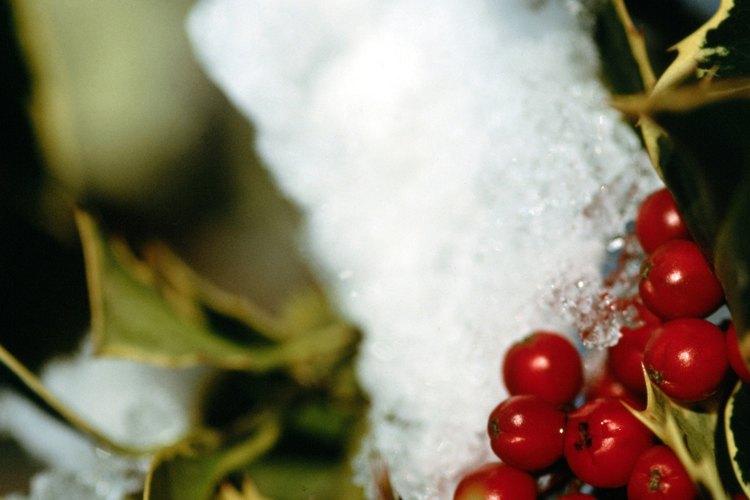Muchos acebos producen frutos rojos.