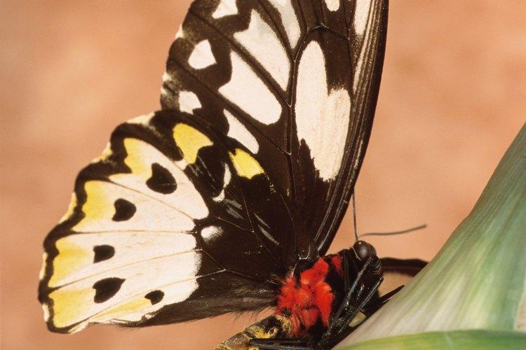 Ver cómo una mariposa sale del capullo de una oruga te permite ser testigo de las maravillas de la naturaleza de cerca.