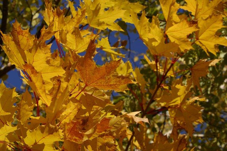 Las semillas del árbol de azúcar son dispersadas en el otoño.