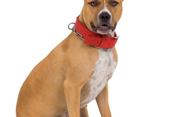 Los llamados pit bulls vienen en una variedad de diferentes razas.