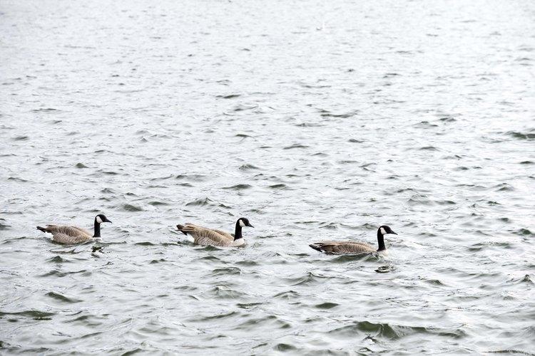 La erosión del suelo puede afectar a la vida acuática que alimenta a los gansos.