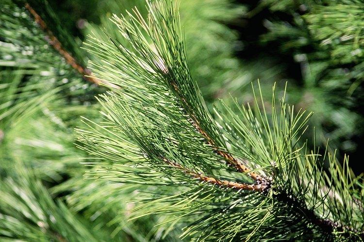 Examina cómo las agujas se sujetan a la rama para ayudar a identificar un árbol conífera.