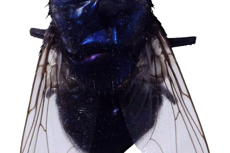 Las moscas azules son un tipo de insecto carroñero.