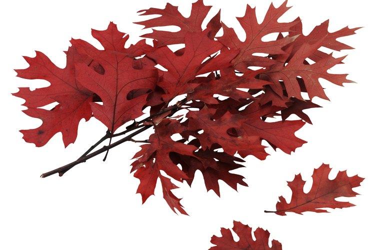Los rboles de roble mantienen sus hojas todo el a o for Arboles de hoja perenne para clima continental