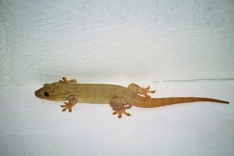 El gecko común casero común tiene la piel rosa u opaca.