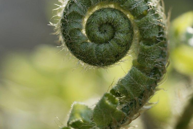 Algunas hojas de helecho inmaduras se llaman cola de mono.